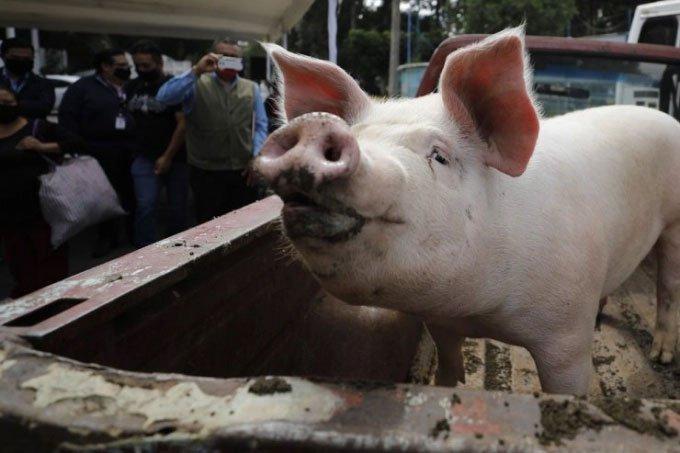 Cấy ghép nội tạng lợn cho người