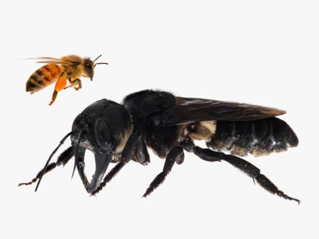 Loai ong to bang ngon tay cai lo dien gay bat ngo