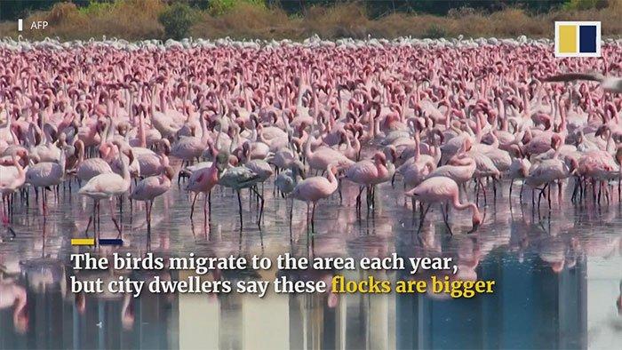 Những con hồng hạc tạo nên cảnh tượng ngoạn mục cho người dân ở Nerul.