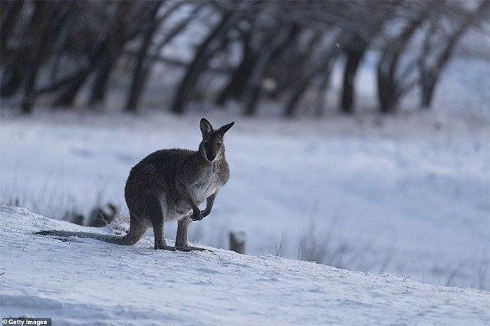 Kangaroo chống chọi với những đợt gió lạnh, tuyết rơi bất thường vào tháng 8.