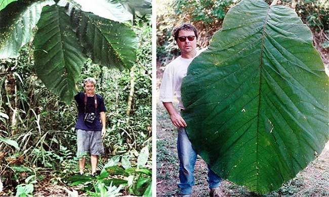 Lá cây Coccoloba gigantifolia.