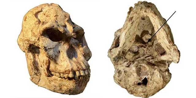 Xương sọ của Chân Nhỏ cho thấy bộ não nhỏ hơn 3 lần so với não của người hiện đại.