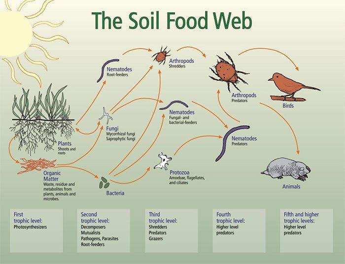 Tuyến trùng đóng vai trò mắc xích trong chuỗi thức ăn của hệ sinh thái