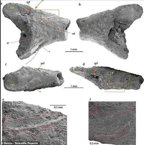Xương hóa thạch của ếch cổ đại