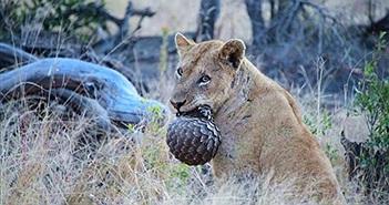 """Khiếp đảm sư tử ăn thịt tê tê như nhai """"bóng sắt"""""""