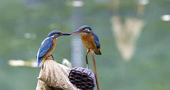 Ngưỡng mộ tình cảm mặn nồng của vợ chồng chim bói cá