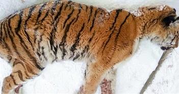 Hổ Siberia đau răng xuống nhà dân cầu cứu
