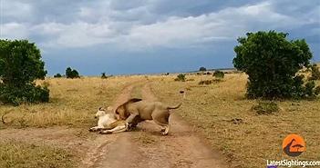 """Xem sư tử đực bị vợ dạy dỗ vì """"đòi yêu"""" sai lúc"""