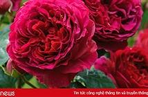 Ý nghĩa các loài hoa tặng mẹ, tặng vợ, tặng bạn gái ngày 8/3