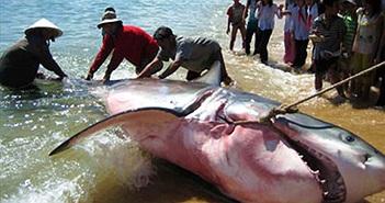 Ly kỳ chuyện câu cá mập ở Trường Sa