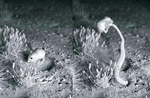 Võ sư chuột nhảy chiến thắng rắn đuôi chuông ngoạn mục