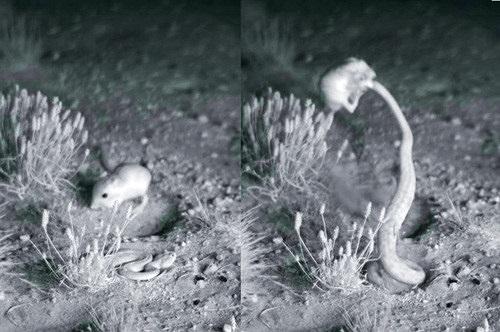 """""""Võ sư"""" chuột nhảy chiến thắng rắn đuôi chuông ngoạn mục"""