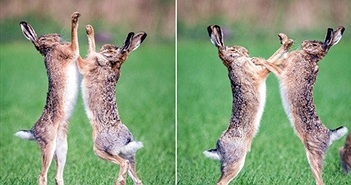 Xem thỏ đực điên cuồng chiến đấu vì tình