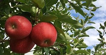 Những tác dụng tuyệt vời cho sức khỏe của trái táo