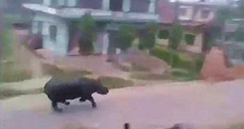 Kinh hoàng tê giác nổi điên rượt đuổi người trên đường phố