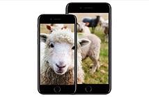 Fan Apple chính thức đi vào từ điển, được ví là con cừu ngoan ngoãn