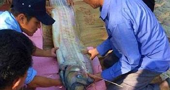 """Những con cá """"khủng"""" liên tục dạt bờ ở Thừa Thiên Huế"""