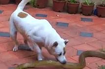 Video: Chó nhà đại chiến rắn hổ trâu, liệu ai sẽ là người chiến thắng?