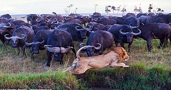 Báo thù cho đồng loại, đàn trâu rừng dồn sư tử vào thế bí