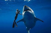 Rợn người thợ lặn vờn cá mập trắng lớn nhất thế giới