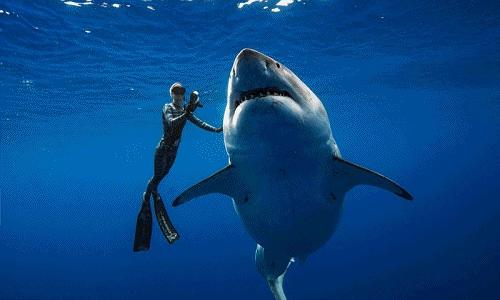 """Rợn người thợ lặn """"vờn"""" cá mập trắng lớn nhất thế giới"""