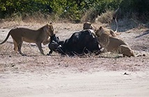 Chiến đấu ngoan cường, trâu rừng vẫn chết thảm dưới đòn sư tử