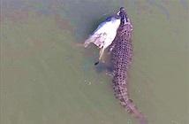 Clip: Cá sấu khổng lồ săn trộm bò của nông dân