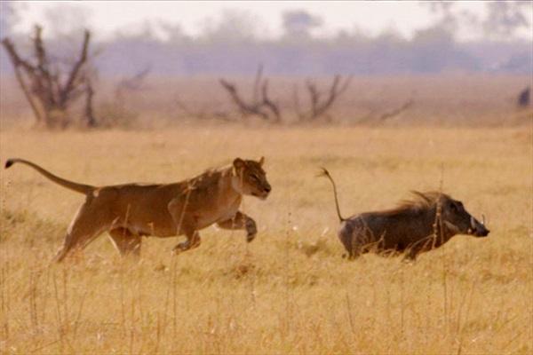 """Clip: Lợn bướu thoát chết trước sư tử nhờ """"lạng lách đánh võng"""""""