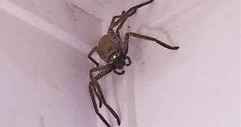 Hãi hùng nhện khổng lồ đột nhập nhà dân