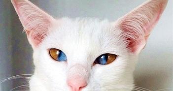 """Dị biệt chú mèo có đôi mắt hút """"linh hồn"""" người khác"""