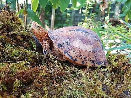 Xót xa ba loài rùa ở Việt Nam cảnh báo nguy cơ tuyệt diệt