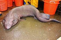 Bất ngờ bắt được loài cá mập cực hiếm sau gần một thập kỷ