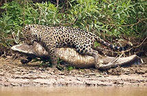 Ảnh động vật tuần: Báo đốm lao sông giết cá sấu, dê giành bạn tình
