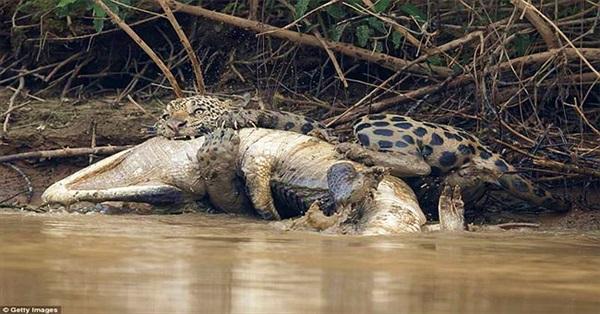 """Báo xuống sông, cắn chết cá sấu """"khủng"""" rồi lôi lên bờ"""