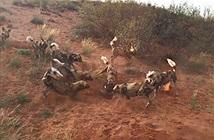 Clip: Đàn chó hoang châu Phi cùng nhau xé xác lợn rừng