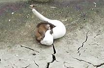 Clip: Màn đại chiến sinh tử khốc liệt giữa chồn và chuột cống