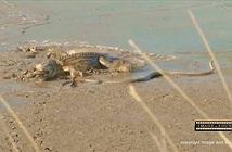 Đụng độ cá sấu và đại bàng, rắn mamba đen cực độc bỏ mạng đau đớn