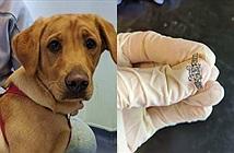 Nuốt nhẫn đính hôn của chủ, chú chó buộc phải tới bác sĩ để lấy ra
