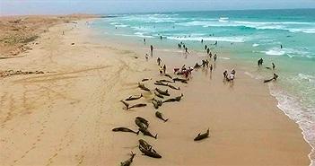 136 chú cá heo bị mắc kẹt, chết thảm trên bờ biển Tây Phi chưa rõ nguyên nhân
