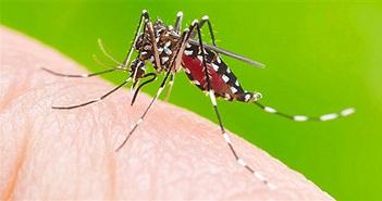Cách phân biệt muỗi gây sốt xuất huyết với muỗi thường