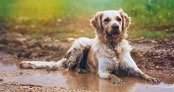 Lý do lông chó có mùi hôi khi dính nước