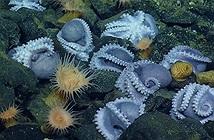 """Phát hiện """"bệnh viện phụ sản"""" cực hiếm dưới biển sâu của hàng nghìn con bạch tuộc"""