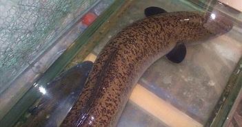 """Cá lệch """"khủng"""" 20kg sa lưới ngư dân sông Lam Nghệ An"""