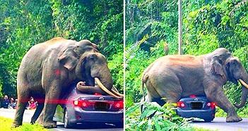 """Tài xế hốt hoảng chứng kiến voi khổng lồ """"cưỡng bức"""" ô tô"""