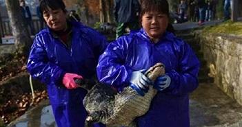 """Cận cảnh """"xốc nách"""" 13 ngàn con cá sấu từ hồ vào nhà ở TQ"""