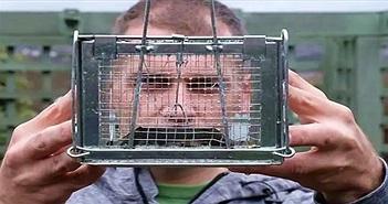 Chuột cống dài 30cm cắn thủng bẫy thép để bỏ trốn