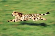 Loài động vật nào nhanh nhất hành tinh?