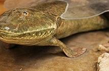 Loài cá cổ đại Tiktaalik roseae đã đi bộ trên mặt đất như thế nào?