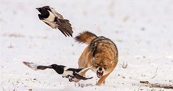 Đôi chim thoát nanh chó rừng trong gang tấc