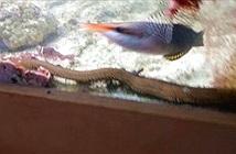 Giun dài hơn một mét giấu mình trong bể cá suốt hai năm